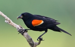 red-winged_blackbird