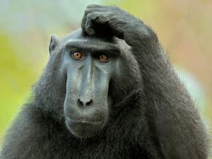 monkey-scratching-head