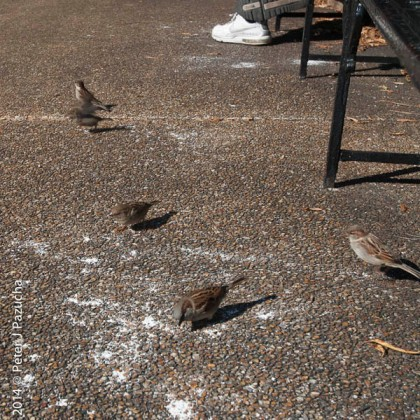 Sparrows like the sugar off the beignets!