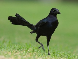 great_tailed_grackle_3