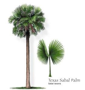 Texas Sabal Palm