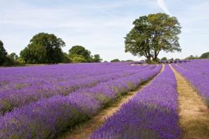 Lavender Stripes