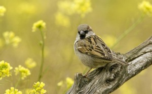 sparrow-on-a-branch-12905