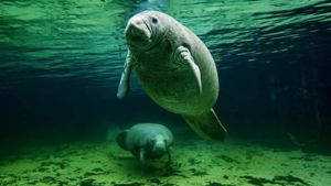 Manatee at Salt Springs