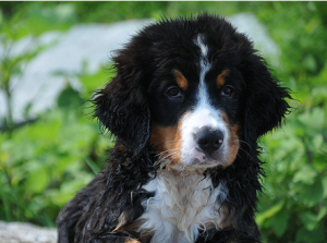 Bernese Mountain Puppy with wet fur