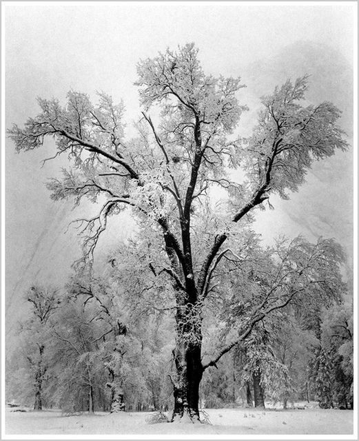 %22Oak Tree, Snowstorm%22 Yosemite National Park, California 1948 by Ansel Adams