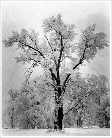 %22Oak Tree, Snowstorm%22 Yosemite National Park, California 1948 by Ansel Adams