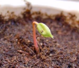 grape-seedlings