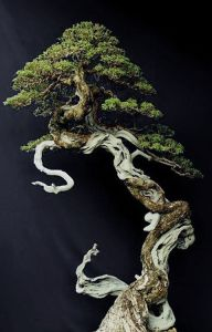 windswept-bonsai