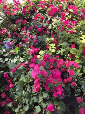 The colors and varieties we find blooming down here are amazing