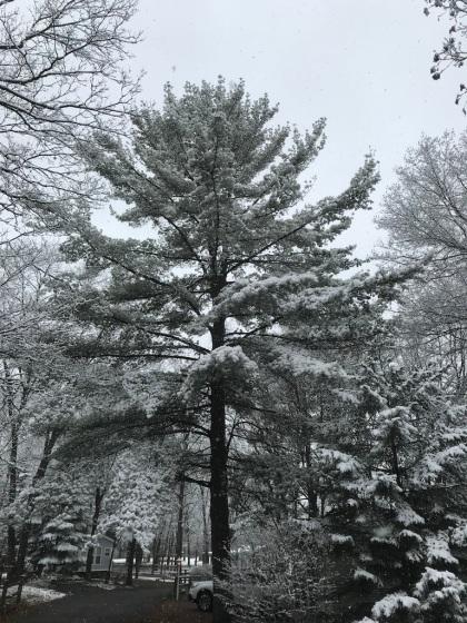 the big pine alongside our trailer
