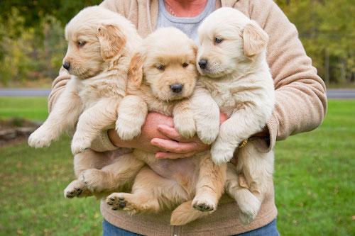 Woman holding 3 male golden retriever puppies